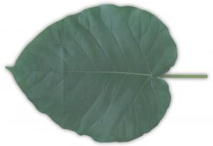 leaf_letter